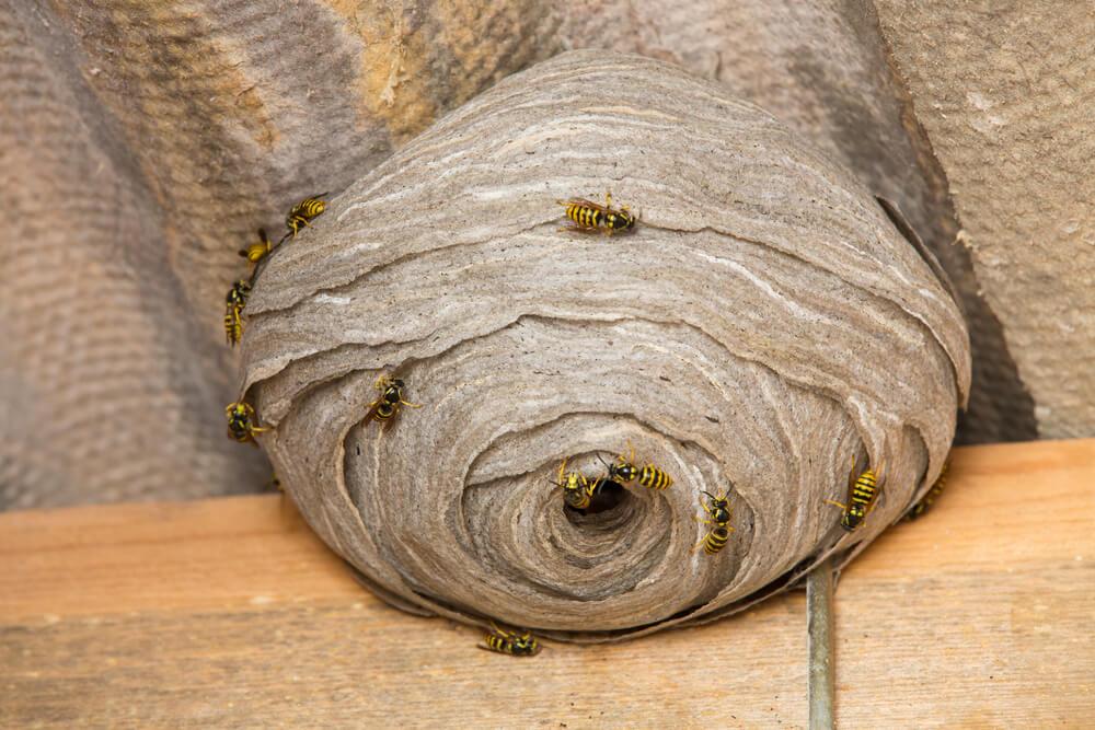 wespennest in hok