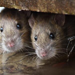 muizen plaag