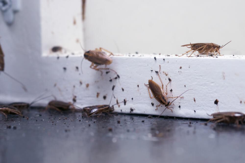 kakkerlakbestrijding Noord Holland