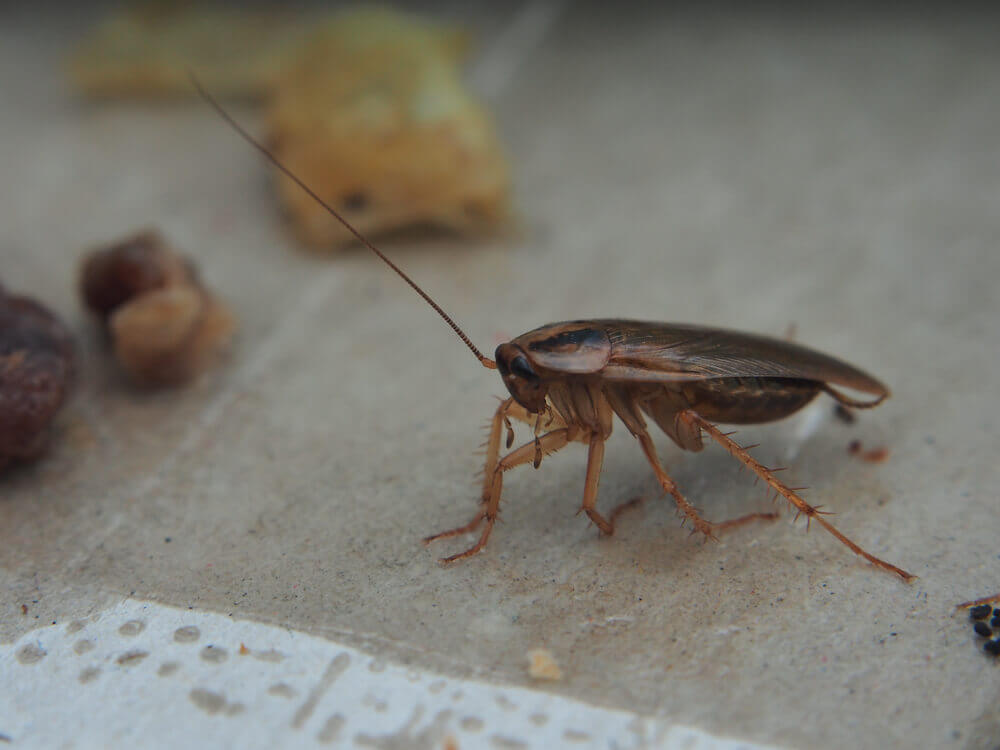 Kakkerlakbestrijding